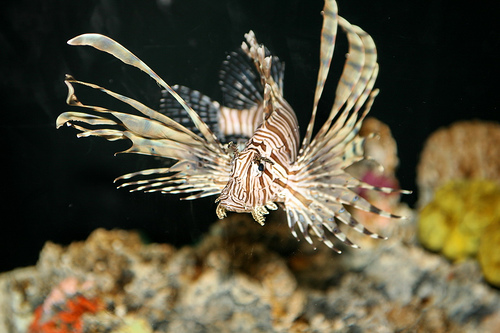 the invasion of red lionfish in the atlantic oceans Oceans looks at the invasion of lionfish in the bahamas.