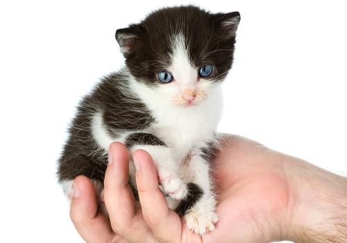 cost of kitten