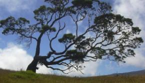 koa-tree11