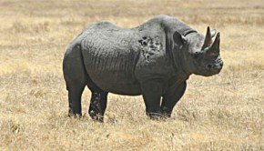 black rhino in africa from wikimedia commons